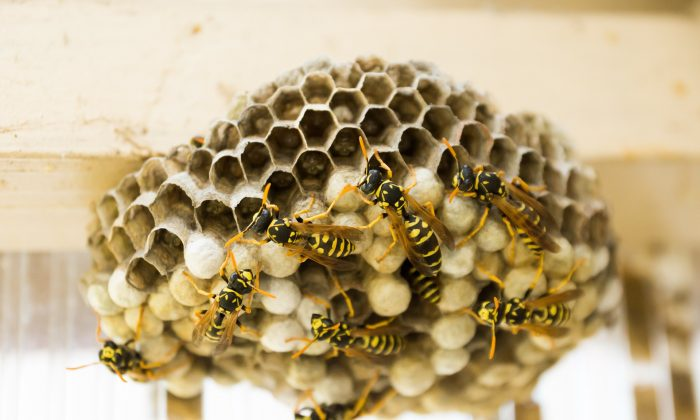 How to deal with wasp nests - City Pest Control Services